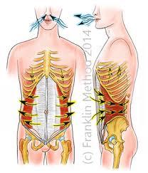 Bei der Ausatmung zieht der innere schräge Bauchmuskel die Rippen nach unten.