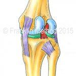 Kniegelenk-Anatomie (c) Eric Franklin